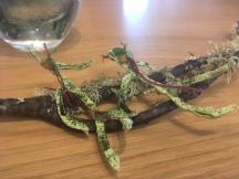 Crujiente de algas con gel de limón